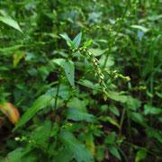 Pfeffer-Knöterich (Persicaria hydropiper)
