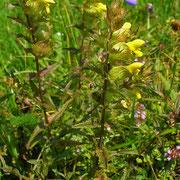 Grannen-Klappertopf (Rhinathus glacialis)