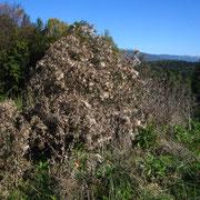 Lanzen-Kratzdistel (Cirsium vulgare)