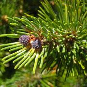 Leg-Föhre (Pinus mugo) | weibliche Blüten (Zapfen)