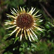 Gewöhnliche Golddistel (Carlina vulgaris)