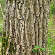 Bruch-Weide (Salix fragilis) | Borke