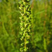 Beifuß-Traubenkraut (Ambrosia artemisiifolia) | männliche Blüten