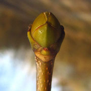 Berg-Ahorn (Acer pseudoplatanus) | Knospe