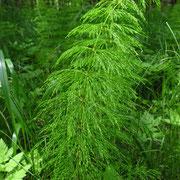 Wald-Schachtelhalm (Equisetum sylvaticum)