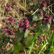 Purpur-Taubnessel (Lamium purpureum)