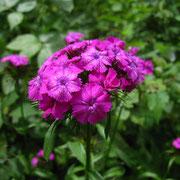 Bart-Nelke (Dianthus barbatus)