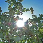 Große Klette (Arctium lappa)