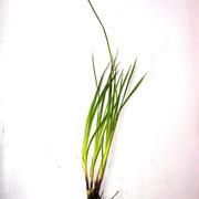 Berg-Segge (Carex montana)