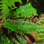 Rippenfarn (Blechnum spicant)