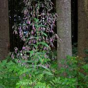 Hasenlattich (Prenathes purpurea)