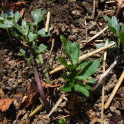 Kriech-Hahnenfuß (Ranunculus repens)
