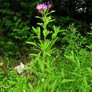 Zottel-Weidenröschen (Epilobium hirsutum)