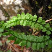 Grüner Streifenfarn (Asplenium viride)