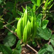 Süß-Tragant (Astragalus glycyphyllos)