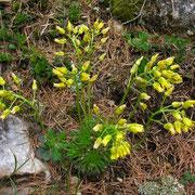 Immergrün-Felsenblümchen (Draba aizoides)