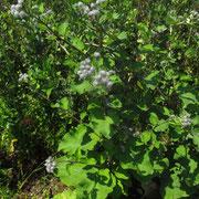 Spinnweb-Klette (Arctium tomentosum)