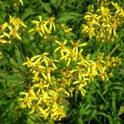 Fuchs-Greiskraut (Senecio ovatus)