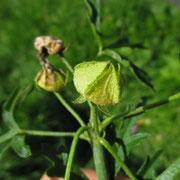 Spitzblatt-Malve (Malva alcea)