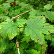 Alpen-Ribisel (Ribes alpinum)