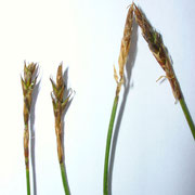 Davall-Segge (Carex davalliana)