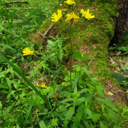 Wald-Habichtskraut (Hieracium murorum)