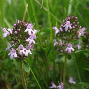 Arznei-Quendel (Thymus pulegioides)
