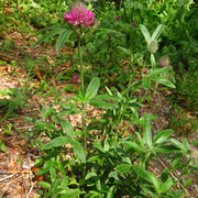 Hügel-Klee (Trifolium alpestre)