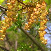 Edel-Hainbuche (Carpinus betulus) | männliche Blüten