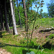 Knoten-Braunwurz (Scrophularia nodosa)