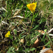Knollen-Hahnenfuß (Ranunculus bulbosus)