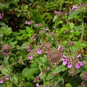 Wirbeldost (Clinopodium vulgare)