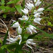 Schmalblatt-Waldvöglein (Cephalophora longifolia)