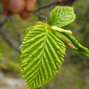 Europa-Hopfenbuche (Ostrya carpinifolia)