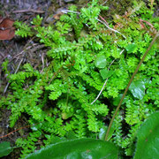Schweizer Moosfarn (Selaginella helvetica)