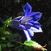 Kalk-Glocken-Enzian (Gentiana clusii)