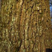 Stiel-Eiche (Quercus robur) | Borke