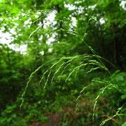 Wald-Flattergras (Milium effusum)