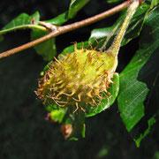 Rot-Buche (Fagus sylvatica) | Frucht
