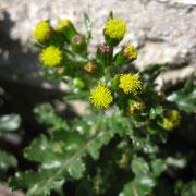 Gewöhnliches Greiskraut (Senecio vulgaris)