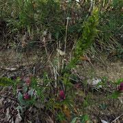 Acker-Wachtelweizen (Melampyrum arvense)