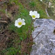 Alpen-Küchenschelle (Pulsatilla alpina s.lat.)