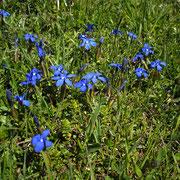 Frühlings-Enzian (Gentiana verna)
