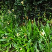 Spitz-Wegerich (Plantago lanceolata)