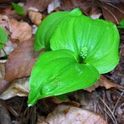 Groß-Zweiblatt (Listera ovata)