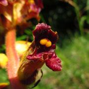 Blutrote Sommerwurz (Orobanche gracilis)