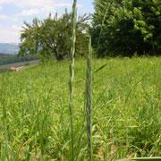 Acker-Quecke (Elymus repens)
