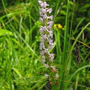 Duft-Händelwurz (Gymnadenia odoratissima)