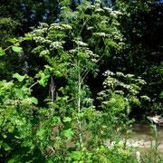 Fleckenschierling (Conium maculatum)