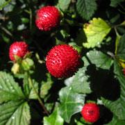 Scheinerdbeere (Potentilla indica)